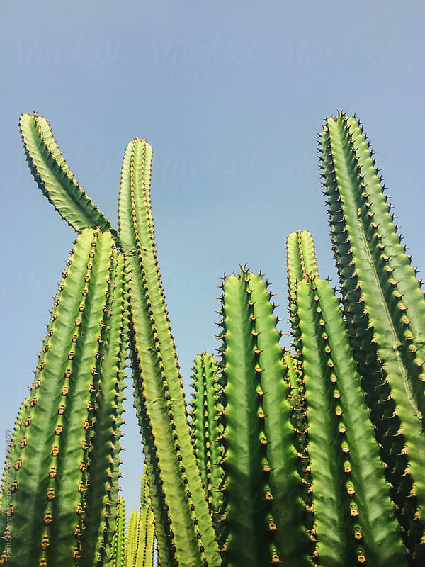 cactuses or cacti? by Paul Schlemmer for Stocksy United