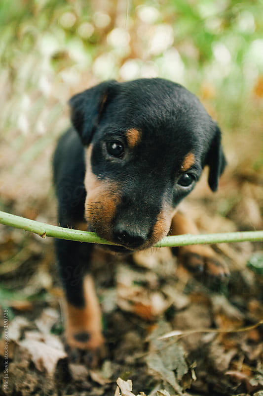 Cute Puppy Looking at Camera by Marija Savic for Stocksy United