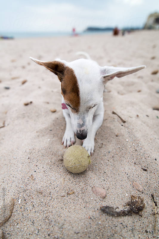 Jack Russell Terrier dog play on the beach by Luca Pierro for Stocksy United