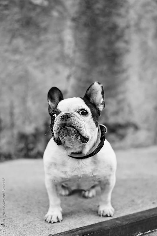 Portrait of cute French bulldog sadly looking at camera by Guille Faingold for Stocksy United