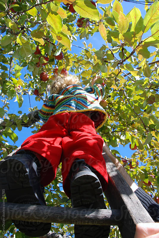 Boy climbs ladder to reach a ripe apple by Cara Dolan for Stocksy United