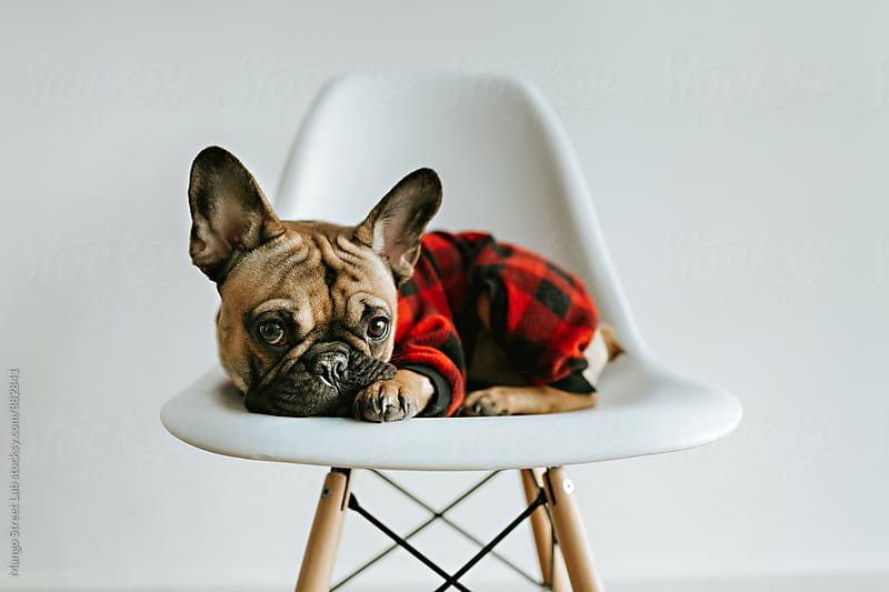 French Bulldog Puppy on a White Geometric Chair by Rachel Gulotta Photography for Stocksy United