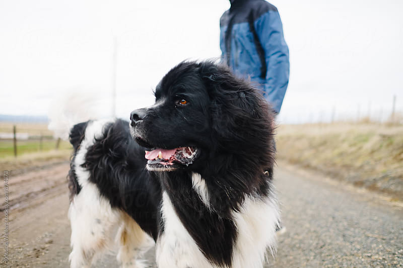 Large Newfoundlan Dog on a hike by Kristine Weilert for Stocksy United