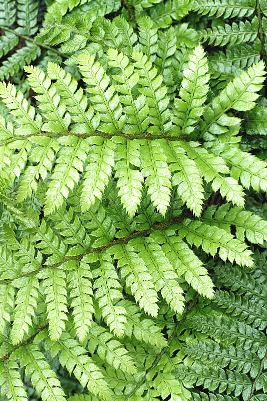 Fern leaves after the rain by Marcel for Stocksy United