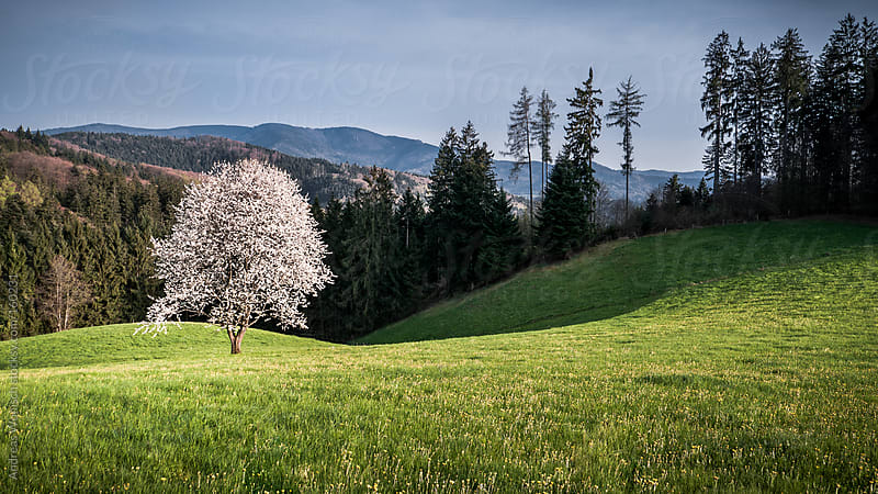 Apple Tree Blossom in the Black Forest by Andreas Wonisch for Stocksy United