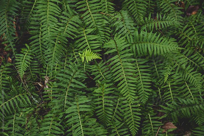 Ferns by Tari Gunstone for Stocksy United
