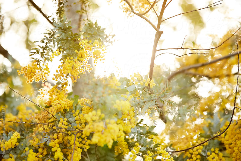 Yellow flowers on tree at sunset by Trinette Reed for Stocksy United