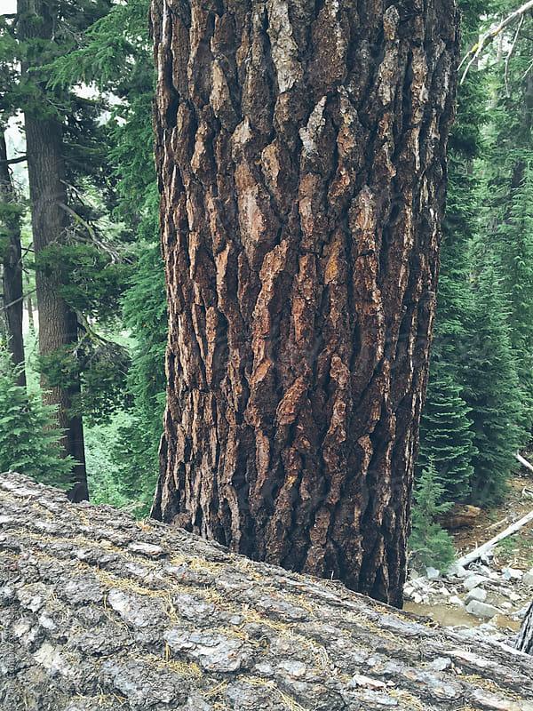 Old growth Jeffrey pine trees  by Paul Edmondson for Stocksy United