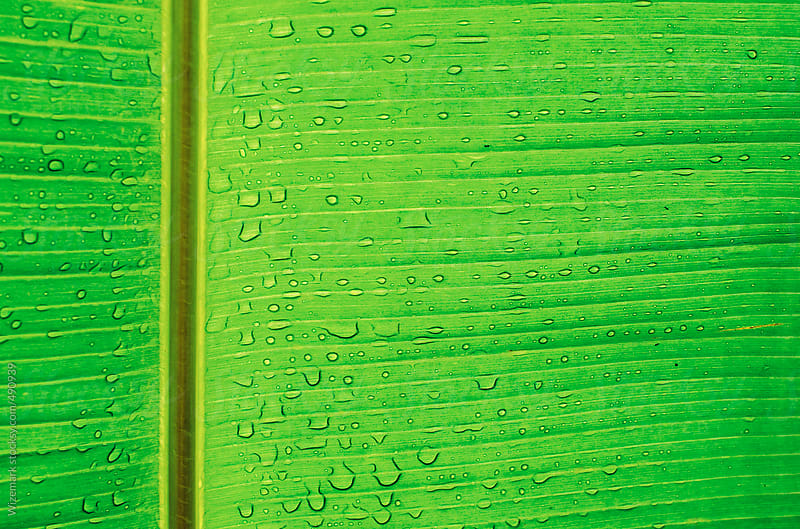 Close up of a bright green banana leaf texture/background  by Wizemark for Stocksy United