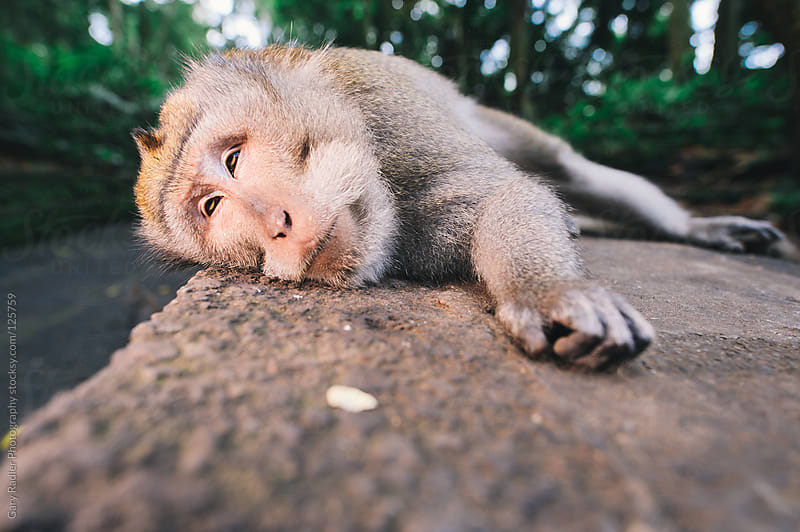 Snoozing Adult long-tailed Macaque. by Gary Radler Photography for Stocksy United