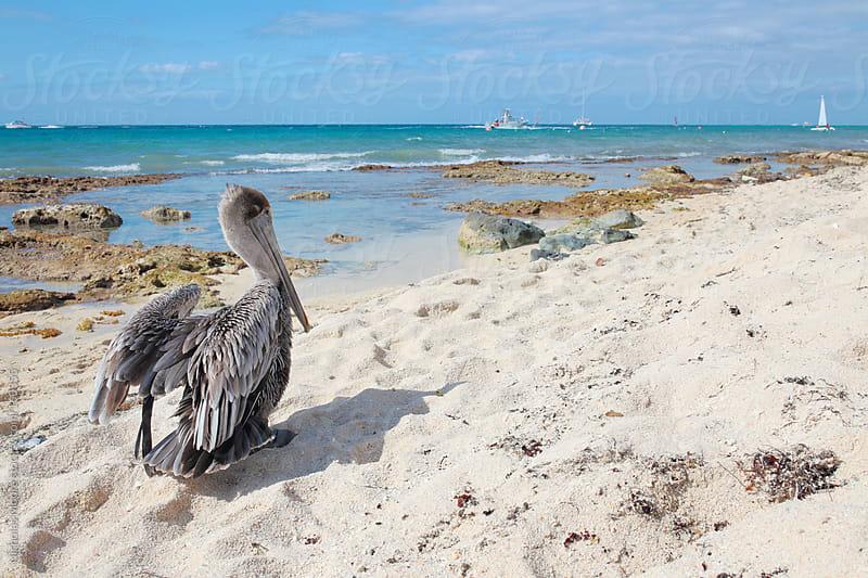 Brown pelican by Nicholas Moore for Stocksy United
