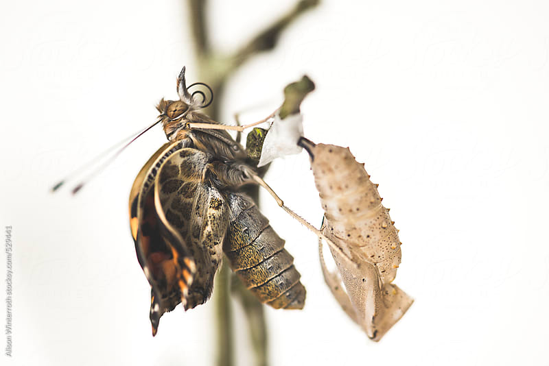 A Butterfly That Has Just Emerged From A Cocoon With Curled Wings by Alison Winterroth for Stocksy United
