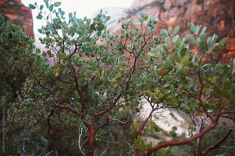 Manzanita Plant in Utah by michelle edmonds for Stocksy United