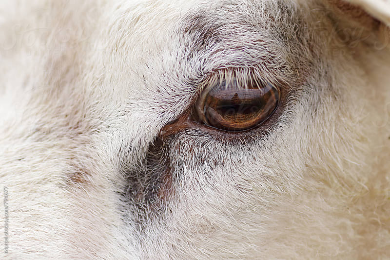 Close up of the head and eye of a sheep by Marcel for Stocksy United