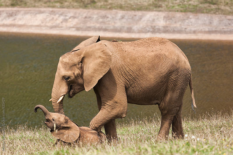 Mother and baby elephant playing by Marilar Irastorza for Stocksy United