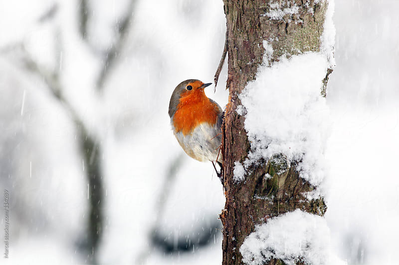 Red robin in the snow by Marcel for Stocksy United
