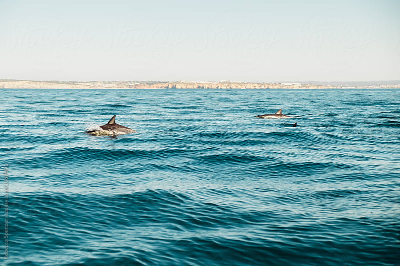 Dolphin swimming in the sea by Rebecca Spencer for Stocksy United