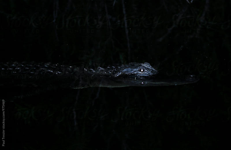 Alligator by Paul Tessier for Stocksy United