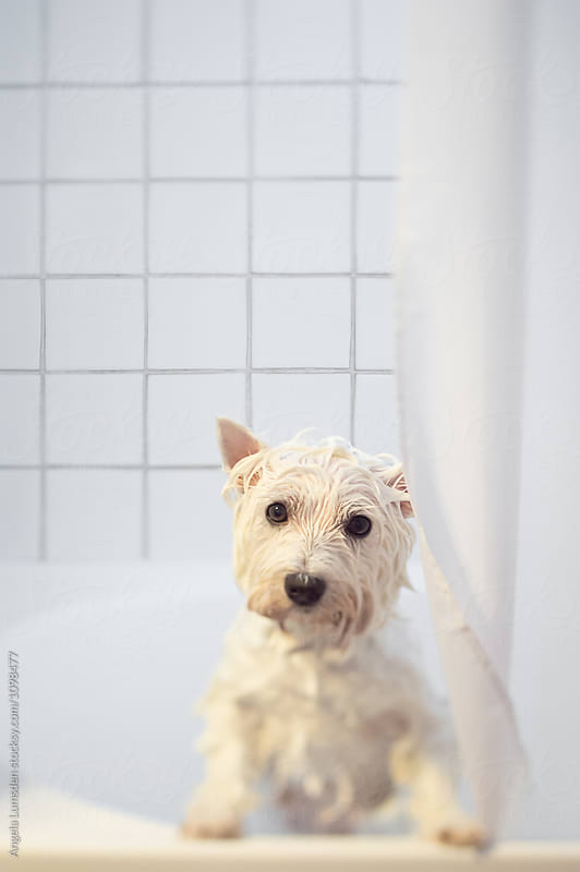 Wet white dog in a white tiled bathroom by Angela Lumsden for Stocksy United