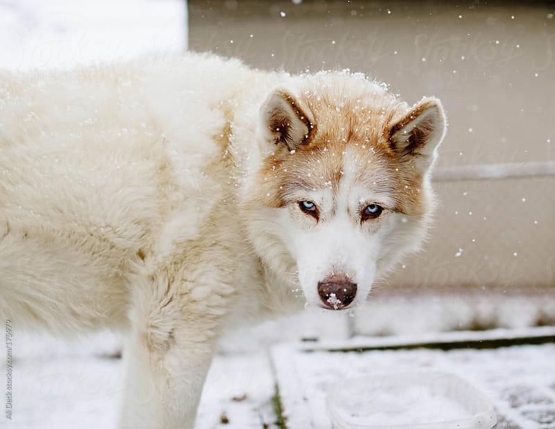 Siberian Husky by Ali Deck for Stocksy United