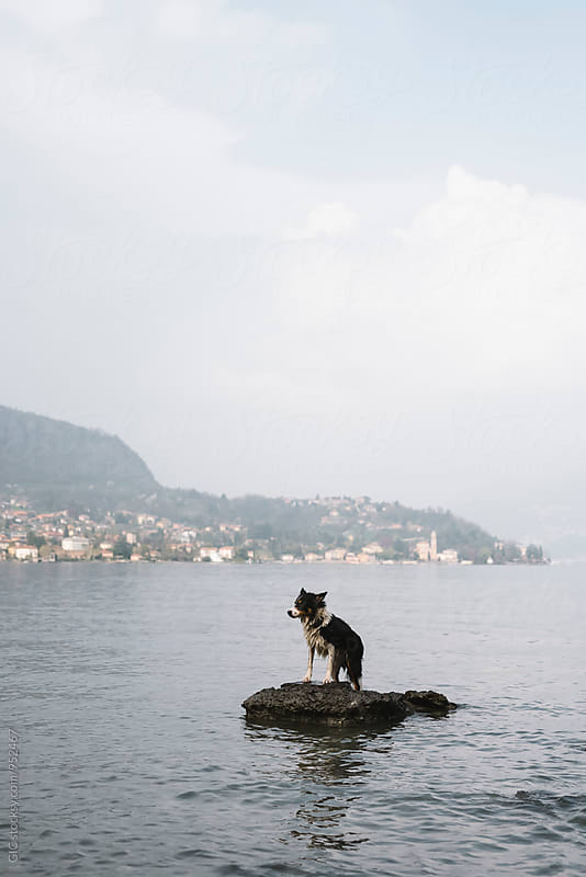 Dog on the rock in the lake by GIC for Stocksy United