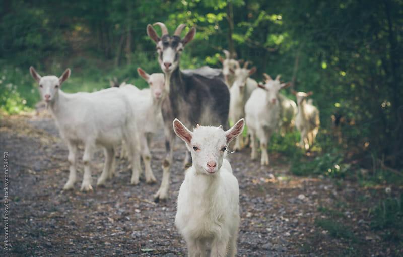 Cute little goat leading the herd by Aleksandra Jankovic for Stocksy United