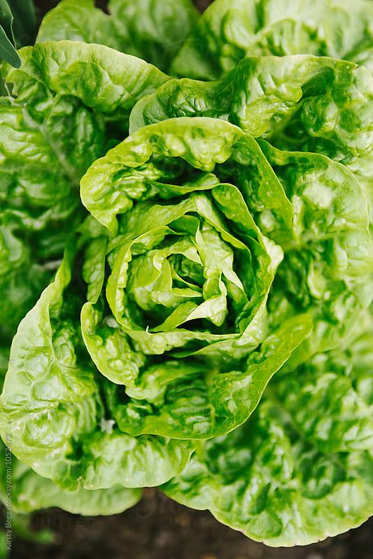 Homegrown lettuce in the vegtable garden  by Kirsty Begg for Stocksy United