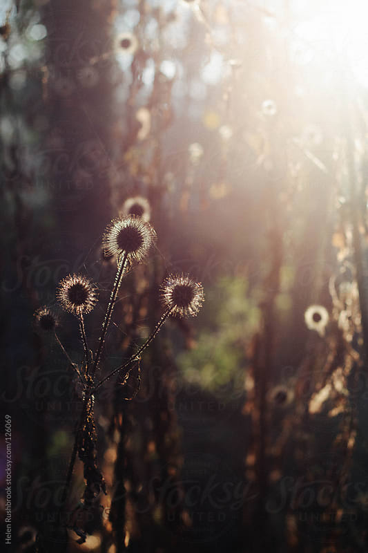 Backlit winter seedheads by Helen Rushbrook for Stocksy United