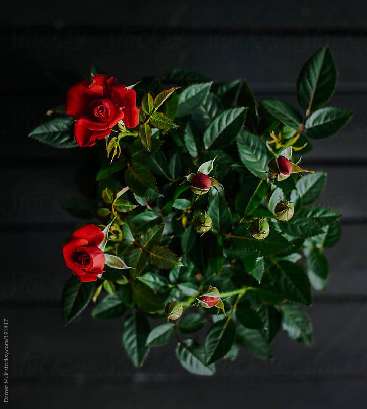 Rose plant.  by Darren Muir for Stocksy United
