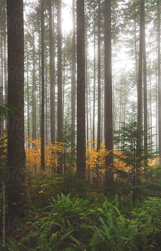 Fall Colors in Evergreen Forest by Ryan Matthew Smith for Stocksy United