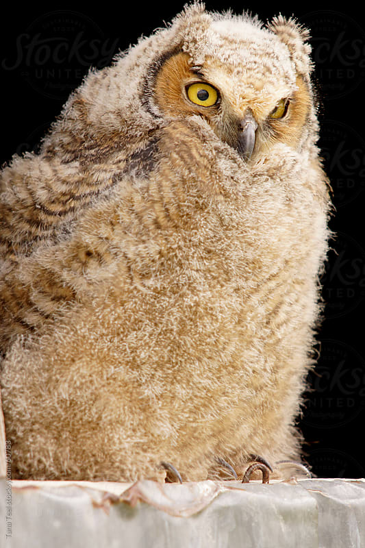 A young horned owl perched in a window watching by Tana Teel for Stocksy United