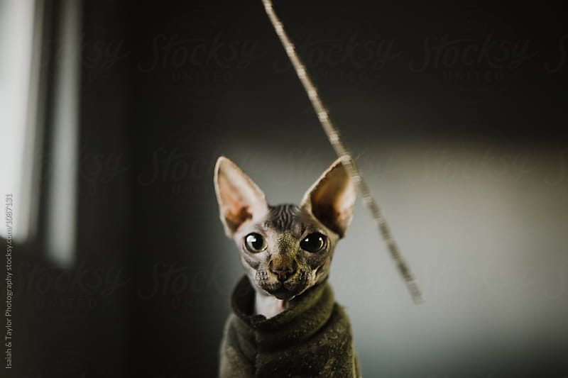 Funny Sphinx Cat in Camo sweater  by Isaiah & Taylor Photography for Stocksy United