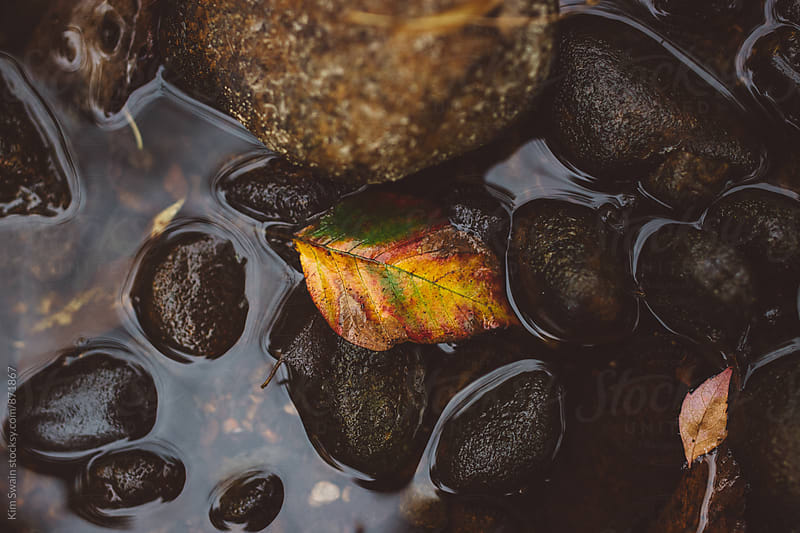 Multicolor leaf in river by Kim Swain for Stocksy United