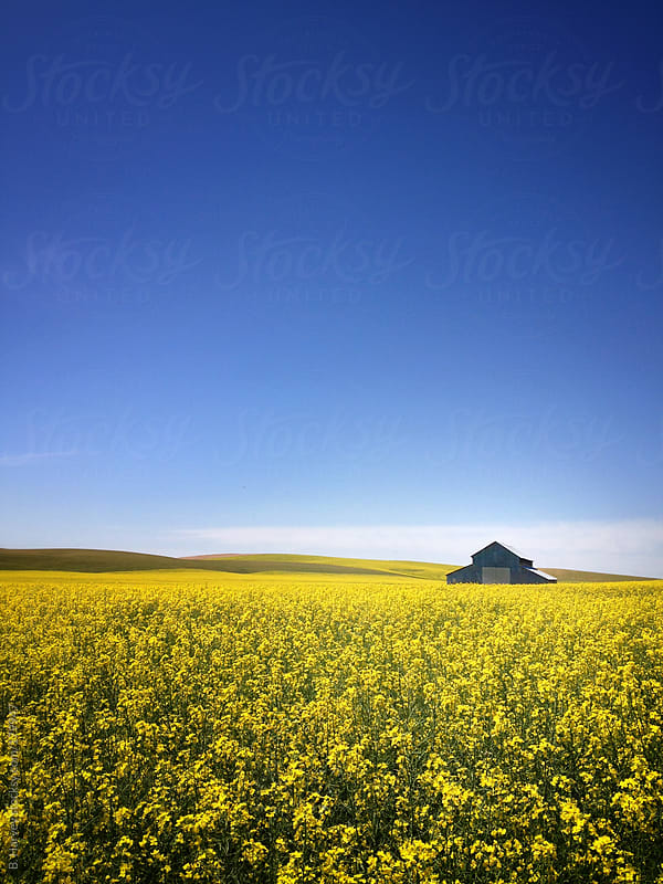 Farm barn surrounded by bright yellow flowers on a summer day by B. Harvey for Stocksy United