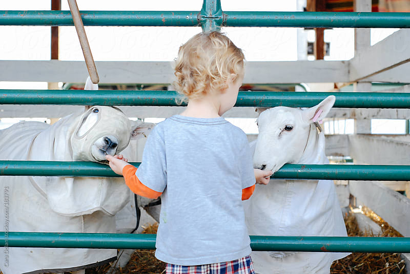Little boy feeds sheep through a fence at the county fair by Cara Dolan for Stocksy United