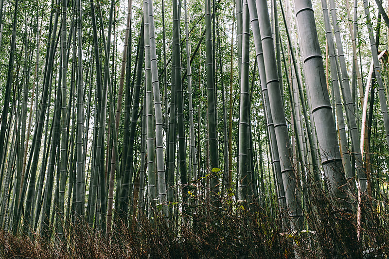 Arashiyama Bamboo Grove, Japan by Daria Berkowska for Stocksy United