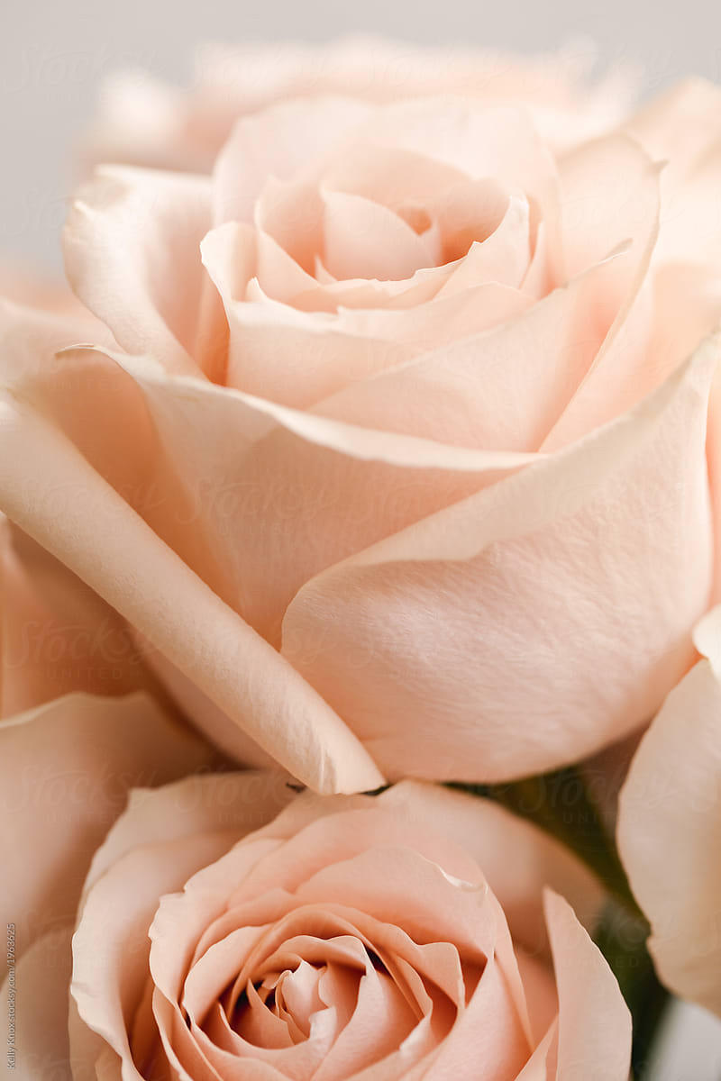 Close Up Of Pale Pink Roses Stocksy United