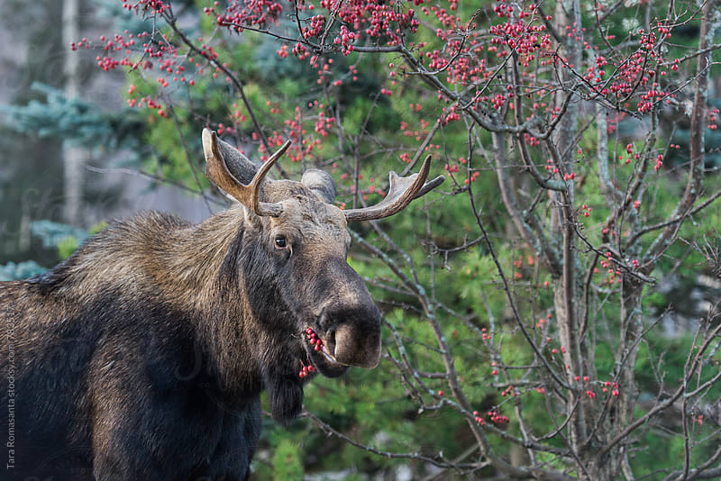 Young male moose munching on red berries by Tara Romasanta for Stocksy United