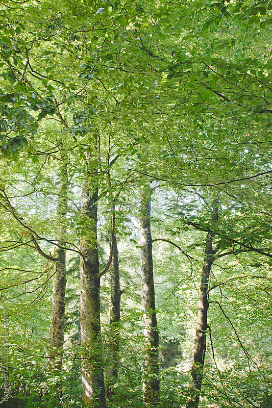 Trees in a forest. Haute-Savoie, France. by BONNINSTUDIO for Stocksy United