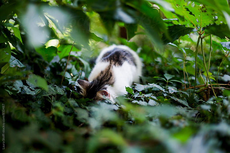 Siberian cat hunting with head under leaves in garden by Laura Stolfi for Stocksy United