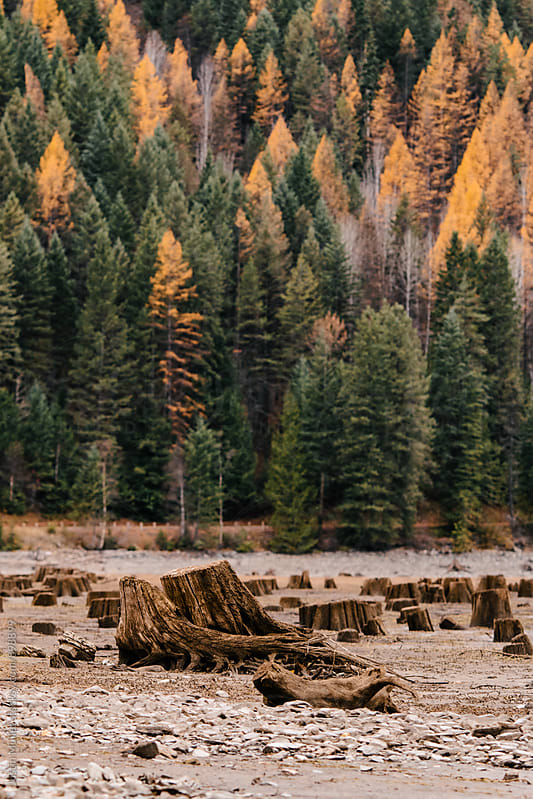 Exposed stumps in front of bright yellow Tamarack trees by Justin Mullet for Stocksy United