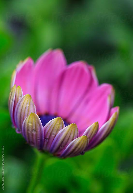 Osteospermum in bloom by alan shapiro for Stocksy United