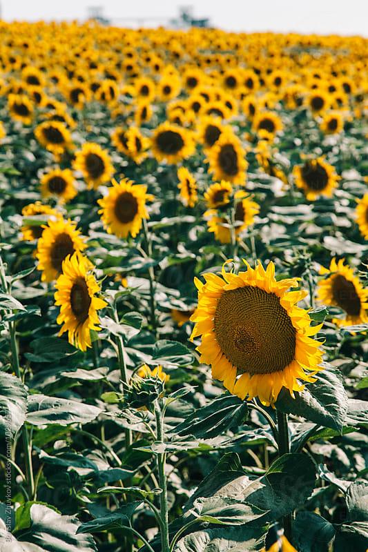 Sunflower field by Borislav Zhuykov for Stocksy United