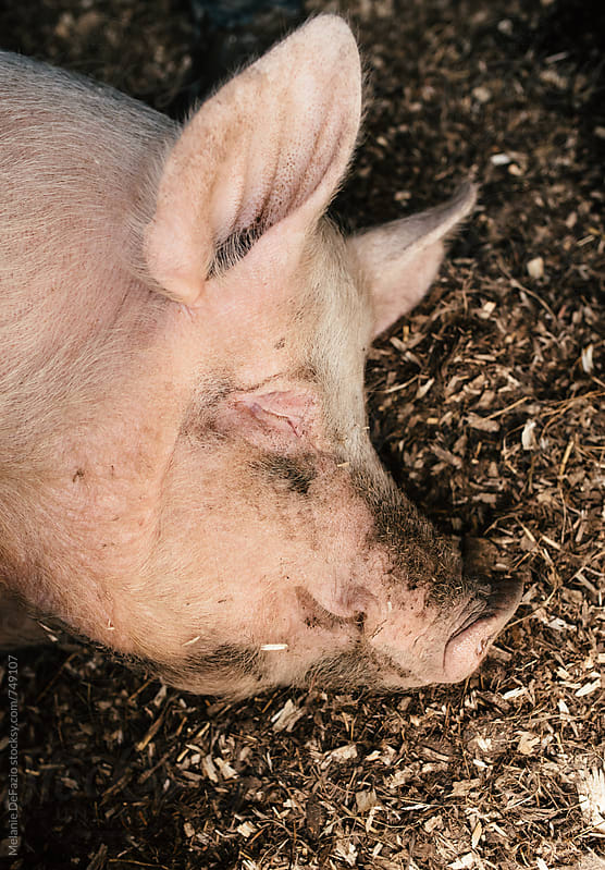 Pig by Melanie DeFazio for Stocksy United