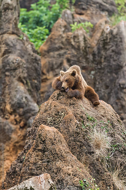 Angry young brown bear by Marilar Irastorza for Stocksy United
