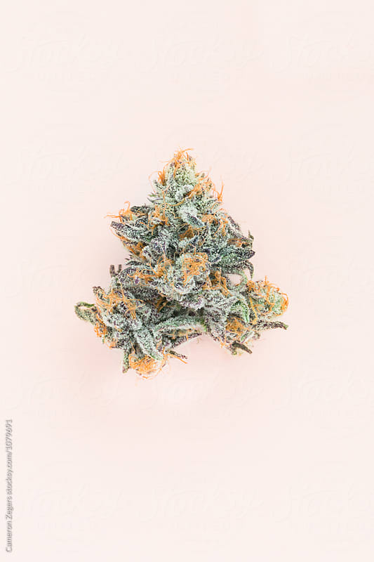 marijuana bud on pastel pink background by Cameron Zegers for Stocksy United