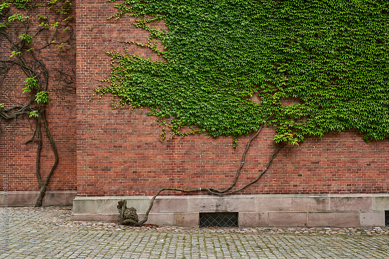 Brick wall covered with green Ivy leaves by Trent Lanz for Stocksy United