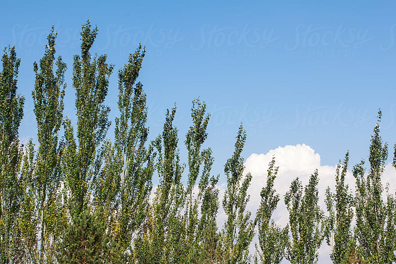 green tree and blue sky by zheng long for Stocksy United