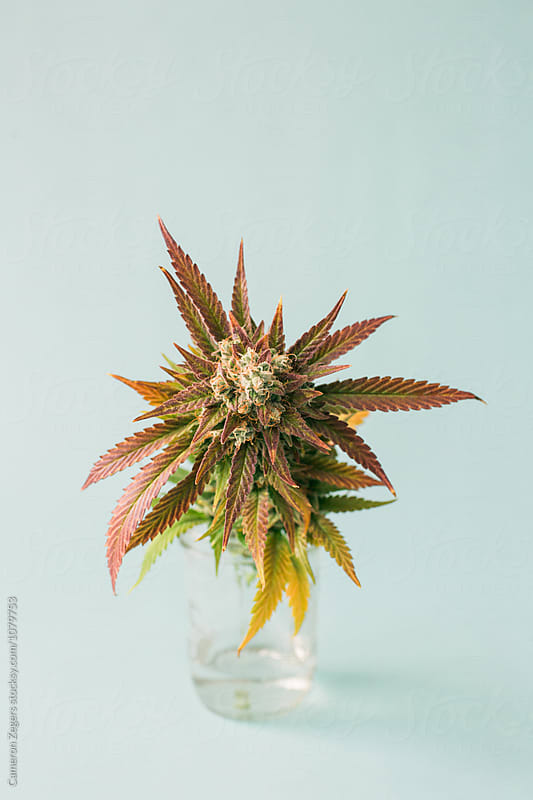 marijuana plant cutting in jar on pastel blue background by Cameron Zegers for Stocksy United