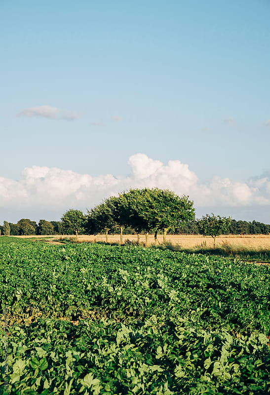 Field of potato plants in evening light. Norfolk, UK. by Liam Grant for Stocksy United